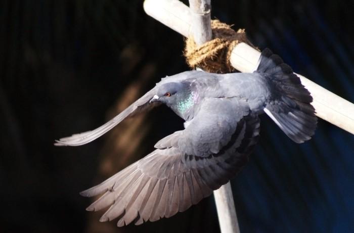 Face � l'IT, les pigeons se rebiffent