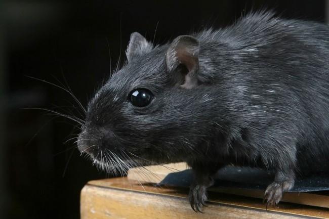 La chasse aux rats est un calvaire pour bon nombre d'entreprises et de particuliers. (crédit : Pixabay / Meditations)