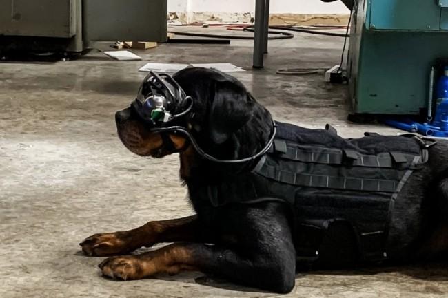 L�arm�e am�ricaine essaie des lunettes de r�alit� augment�e sur des chiens. Celles-ci permettent au ma�tre chien de lui indiquer des directions sp�cifiques en restant � distance. (Cr�dit : Command Sight)