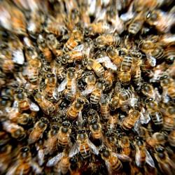 L'intelligence distribuée s'inspire aussi du modèle de l'intelligence en essaim (Swarm Intelligence) essentiellement pour des usages d'analyse prédictive.